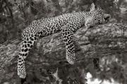 Leopard, Mashatu
