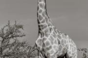 Giraffe, Mashatu