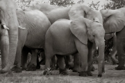 Elephants, Mashatu