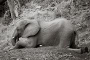 Elephant, Mashatu