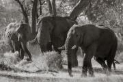 Elephants, Okavango