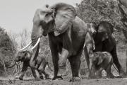 Elephants, Chobe