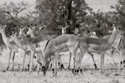 Impala, Mashatu