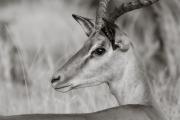 Impala, Okavango