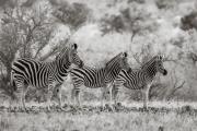 Zebras, Okavango