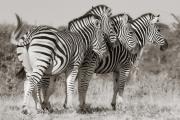 Zebras, Mashatu