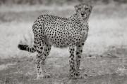 Cheetah, Mashatu