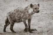 Hyena, Mashatu