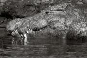 Crocodile, Chobe