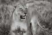 Lioness, Okavango