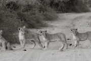 Lion cubs, Chobe