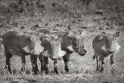 Warthogs, Mashatu