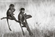 Baboons, Okavango