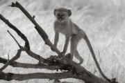Vervet monkey, Okavango