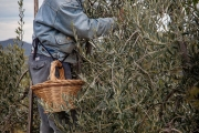 olive picking, Val d'Orcia