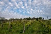 vineyard, Sarteano
