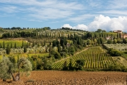 vineyard and olive groves, Sant'Antimo