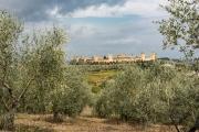 olive grove, Monteriggione