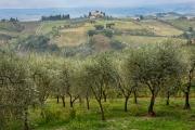 olive grove, San Gimignano