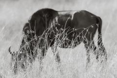 Kenya-Masai Mara