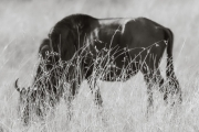 Wildebeest in the Masai Mara