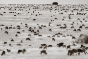 hundreds of Wildebeests, Masai Mara