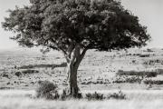 thousands of Wildebeests, Masai mara