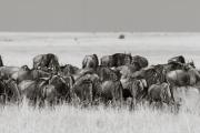 Wildebeests in the Mara