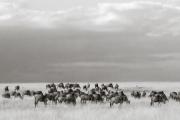 Wildebeests, Masai Mara