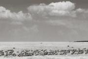 Wildebeest herd after a crossing