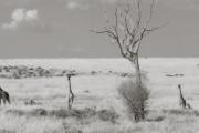 Giraffes, Masai Mara