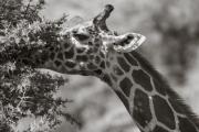 Rothschild Giraffe, Samburu Reserve