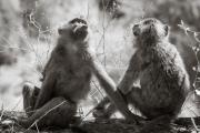 Baboons, Masai Mara