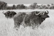 Cape Buffalo, Masai Mara