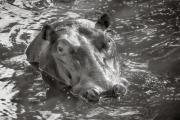 Hippo, Masai Mara
