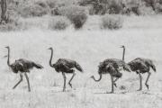 Ostriches, Masai Mara