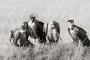 Vultures, Masai Mara