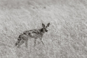 Jackal, Masai Mara