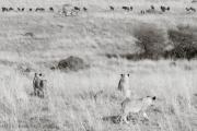 Lions reading a menu..., Masai Mara