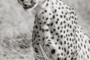 Cheetah, Masai Mara