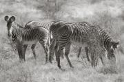 Grevy's Zebras, Samburu Reserve
