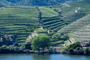 Vineyards along the Douro River