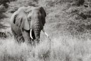 Elephant, Lake Manyara