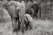Elephants, Lake Manyara
