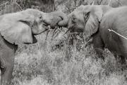 Elephants greeting, Lake Manyara