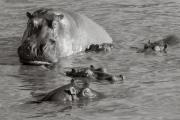 Hippos at Retina, Serengeti