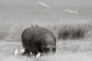 Hippo, Lake Manyara