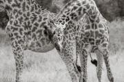 Giraffes, Serengeti