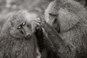 Baboons, Lake Manyara