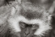 Vervet Monkey, Lake Manyara